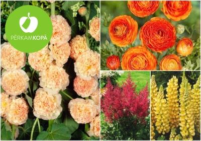 Kāršrožu, hostu, astilbju u.c. ziedu stādi
