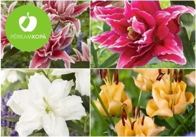 Pildītās rožu lilijas - sīpoli stādīšanai