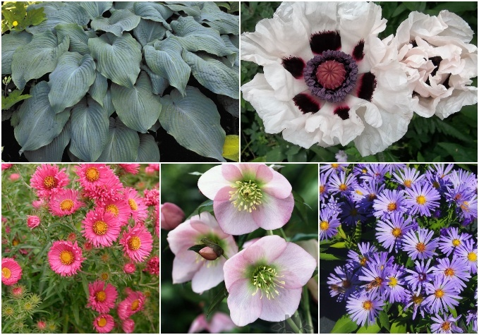 Ziemasteru, hostu u.c. ziedu stādi