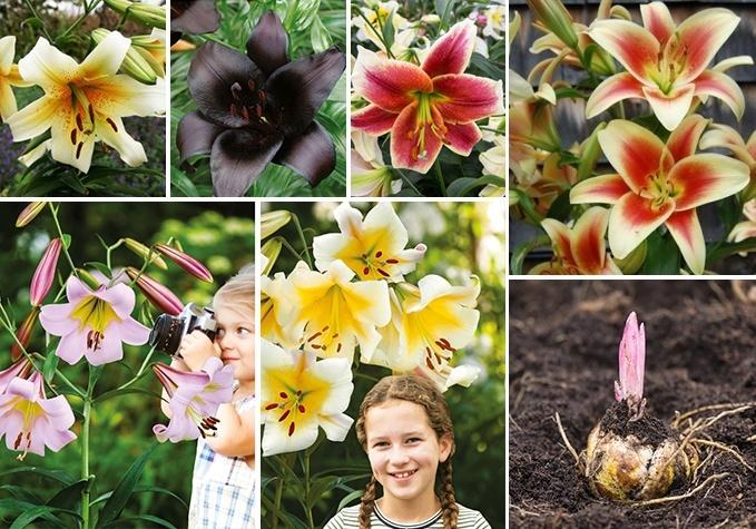 Krāšņo liliju - koku sīpoli (28 šķirnes)